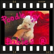 Poodle Micro E Poodle Toy LOVPUPPIES KENNEL